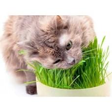 Свежая пророщенная травка для кошек